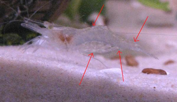 Ghost Shrimp Fs